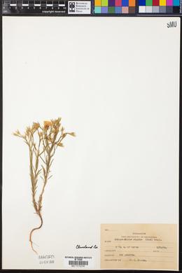 Image of Cathartolinum rigidum