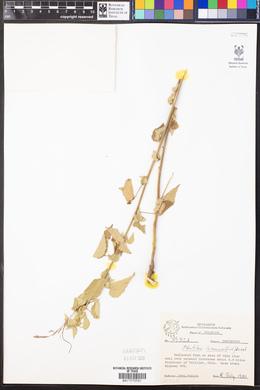 Abutilon incanum image
