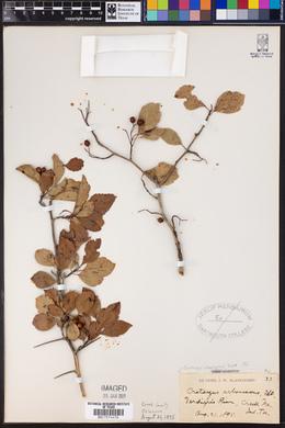 Crataegus arborescens image