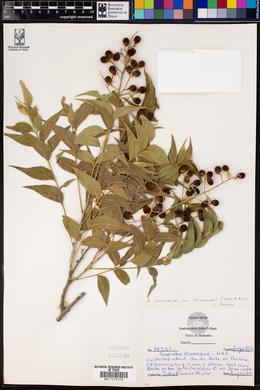Sapindus saponaria image