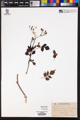 Image of Cissus arborea