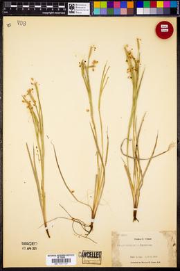 Sisyrinchium arizonicum image
