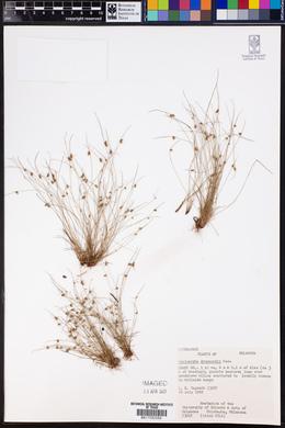 Cyperus hemidrummondii image