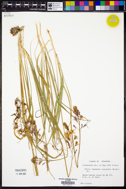 Camassia angusta image