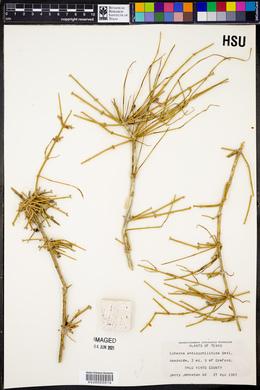 Ephedra antisyphilitica image