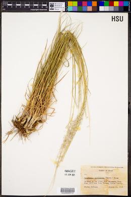Digitaria californica image