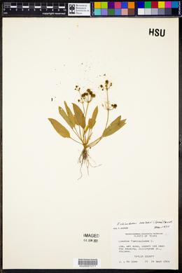 Echinodorus berteroi image