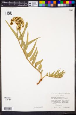 Asclepias asperula var. decumbens image