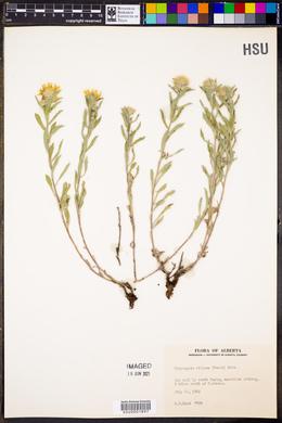 Heterotheca villosa var. villosa image