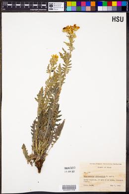 Engelmannia peristenia image