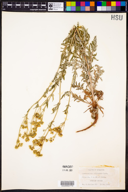Hymenopappus sulphureus image