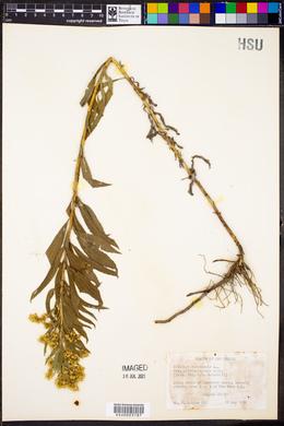 Solidago canadensis var. gilvocanescens image