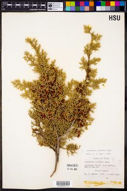 Juniperus pinchotii image