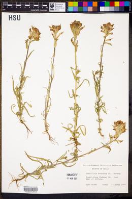 Image of Castilleja brunnescens