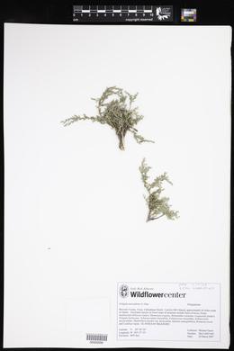 Polygala macradenia image