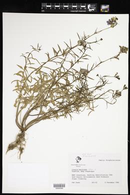 Linaria maroccana image