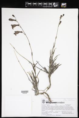 Penstemon dasyphyllus image
