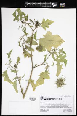Datura quercifolia image