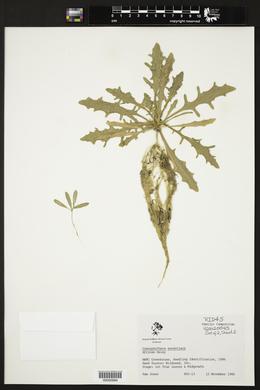 Castalis tragus image