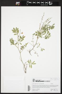 Tephrosia vicioides image