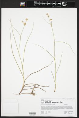 Juncus texanus image