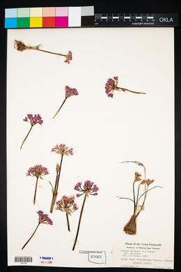 Allium perdulce var. perdulce image