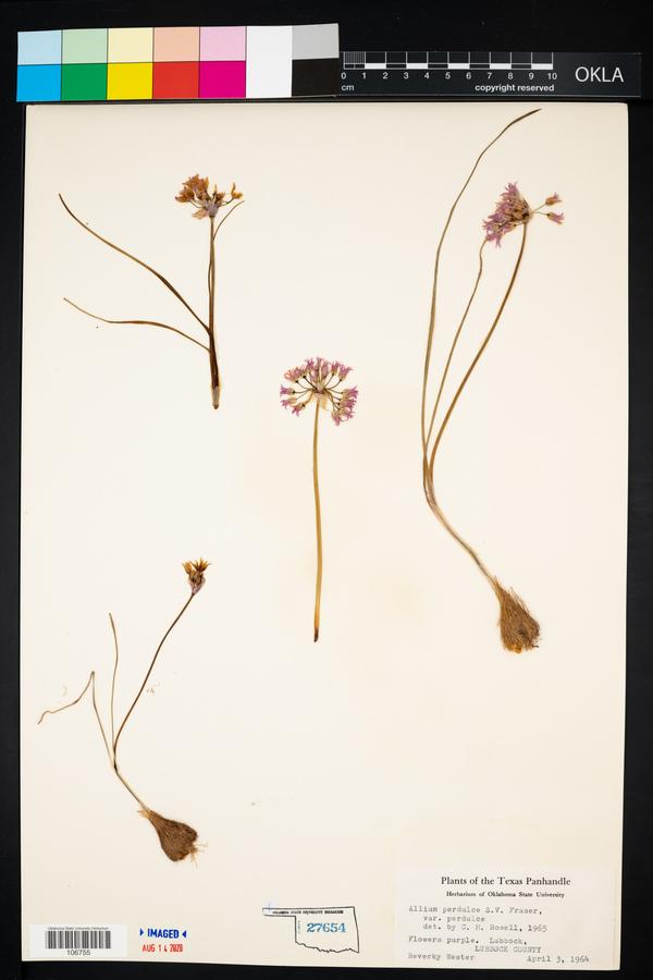 Allium perdulce image