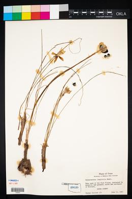 Habranthus longifolius image