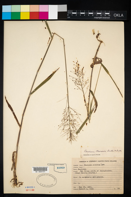 Image of Panicum thurowii