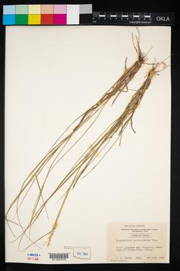 Pappophorum vaginatum image