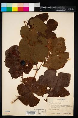 Image of Vitis linsecomii