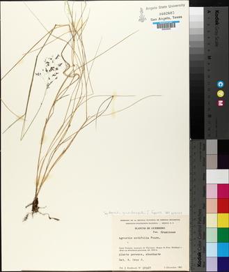 Agrostis ghiesbreghtii image