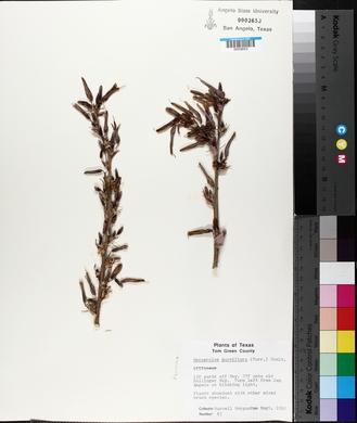 Hesperaloe parviflora image