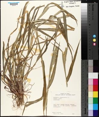 Phalaris canariensis image