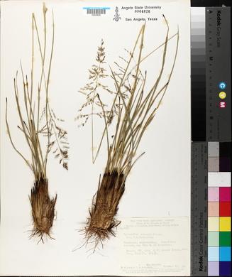 Sporobolus cubensis image