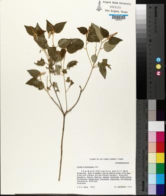 Croton fruticulosus image