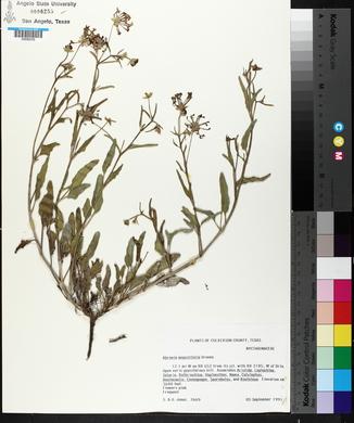 Abronia angustifolia image