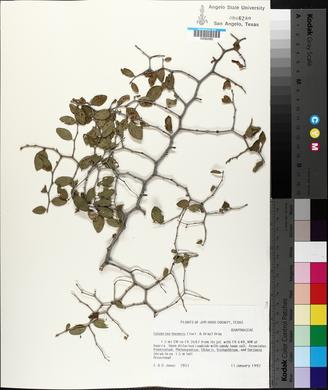Colubrina texensis image