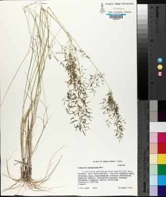 Eragrostis lehmanniana image