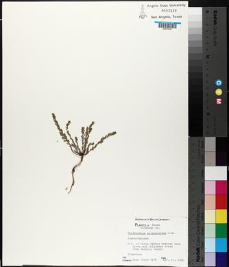Phyllanthus polygonoides image