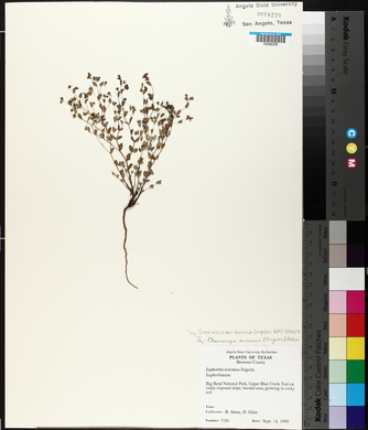 Euphorbia arizonica image