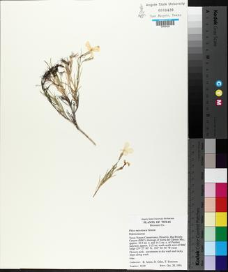 Phlox mesoleuca image