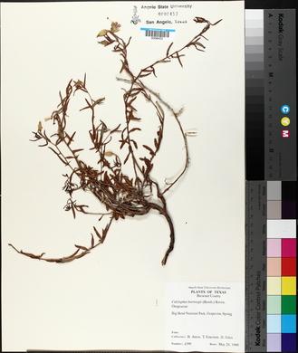 Calylophus hartwegii subsp. hartwegii image