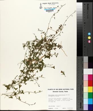 Maurandya antirrhiniflora image