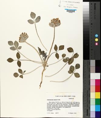 Image of Pediomelum humile