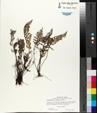 Myriopteris windhamii image