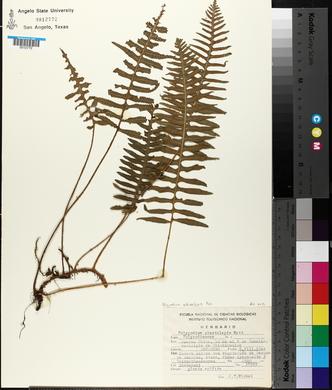 Polypodium echinolepis image