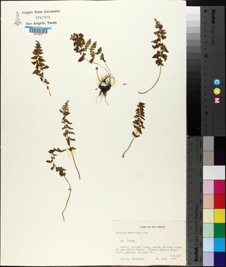 Woodsia mexicana image