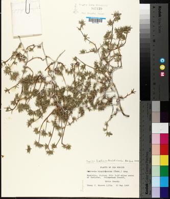 Tiquilia hispidissima image