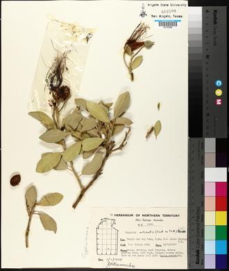 Image of Capparis mitchellii